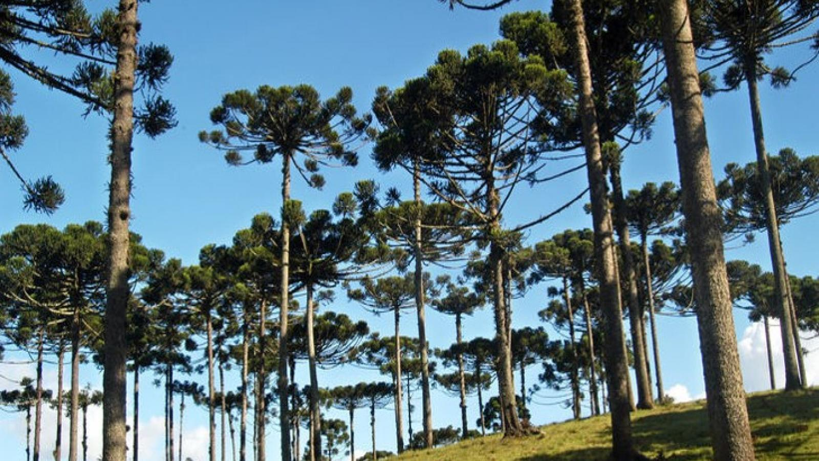 Araucaria, typical trees in Curitiba